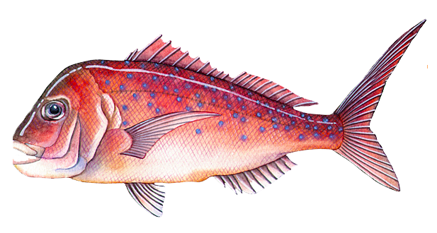 perth fishing spots,cockburn sound snapper, snapper , perth snapper, winter snapper,gps marks perth,