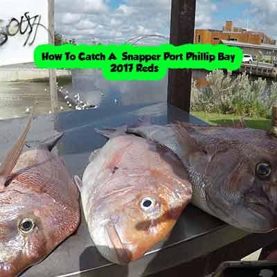 port phillip bay snapper